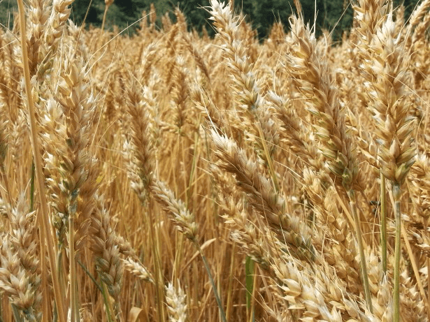 Sumer - Wheat Field